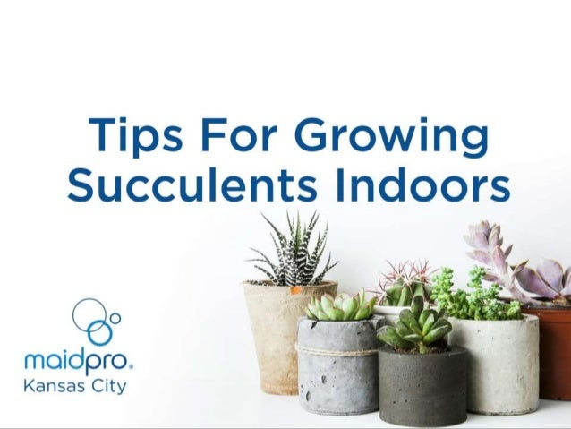 Tips For Growing Succulents Indoors MaidPro Kansas City