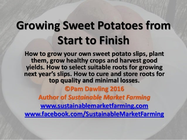 Growing Sweet Potatoes from Start to Finish How to grow your own sweet potato slips, plant them, grow healthy crops and ha...