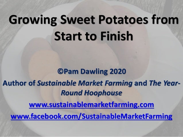Growing Sweet Potatoes from Start to Finish ©Pam Dawling 2020 Author of Sustainable Market Farming and The Year- Round Hoo...