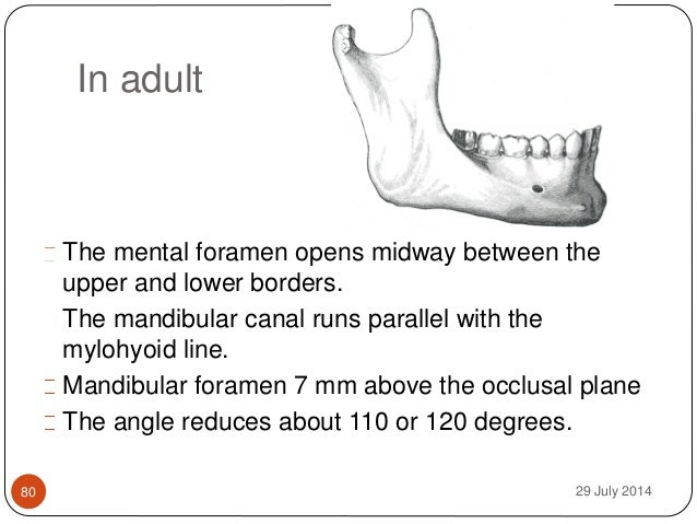 Adult mandible images 274
