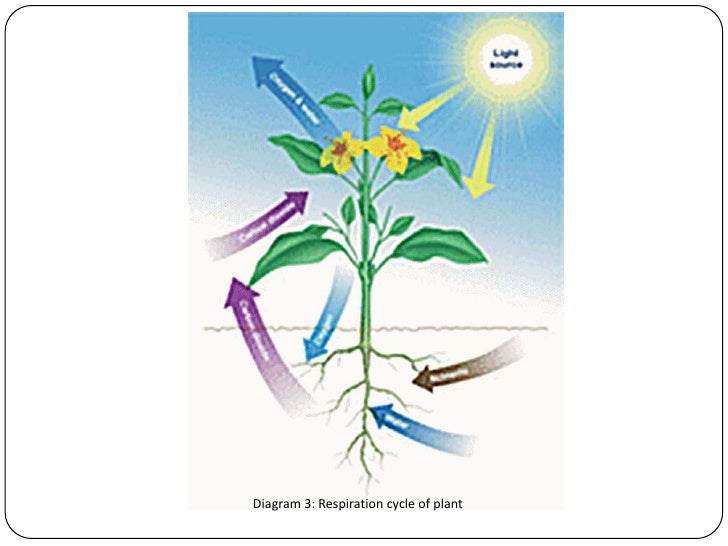 Growth and maintenance in respiration