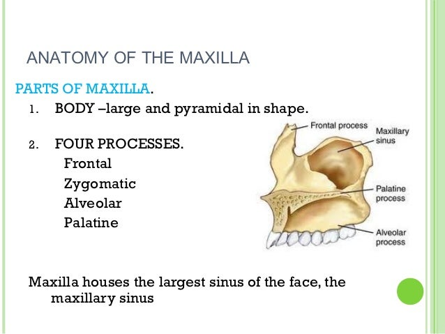 Growth & development of maxilla and mandible