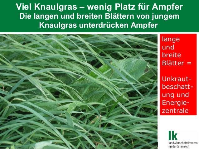 Viel Knaulgras – wenig Platz für Ampfer Die langen und breiten Blättern von jungem Knaulgras unterdrücken Ampfer lange und...