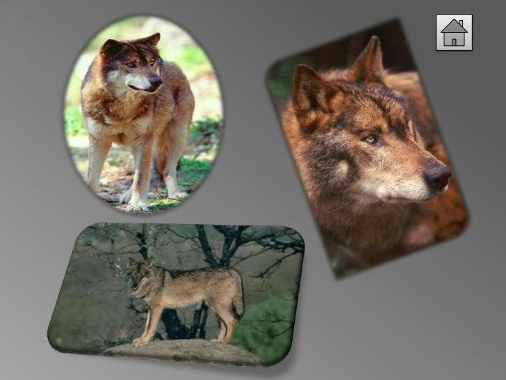 Grupo 7   lobo iberico