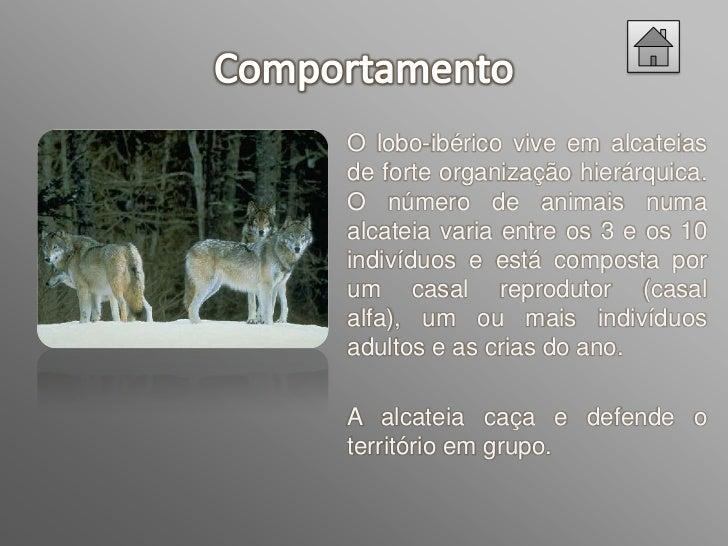 Os     lobos    têm    uma  alimentação  variada,         depende  principalmente        da  abundâncias de presas  selvag...