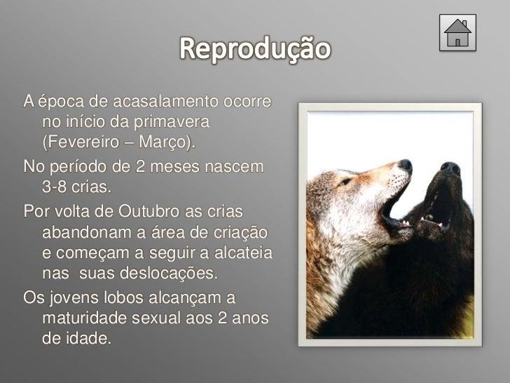 Nós escolhemos o Lobo Ibérico porque está emvias de extinção e devido ao facto de viver pertode nós.