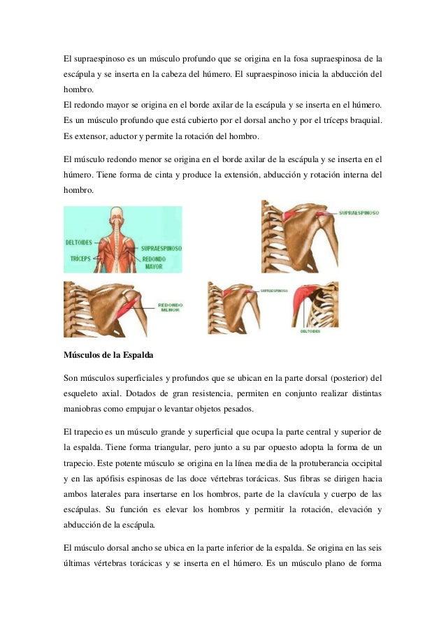 Grupos musculares anatomia