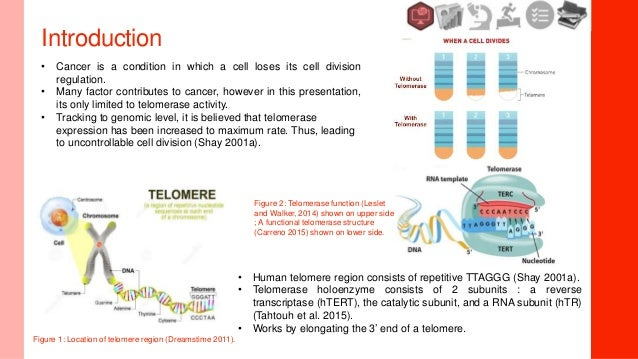 an introduction to telomere and telomerase Introduction telomerase is an rna–protein complex (rnp) that extends the 3′ ends of linear chromosomes by repetitively synthesizing the short telomere-repeat sequence (ttgggg in ciliates and ttaggg in humans) using an rna template that is part of its essential telomerase rna (ter) component and its specialized telomerase reverse transcriptase (tert) (blackburn and collins, 2011.