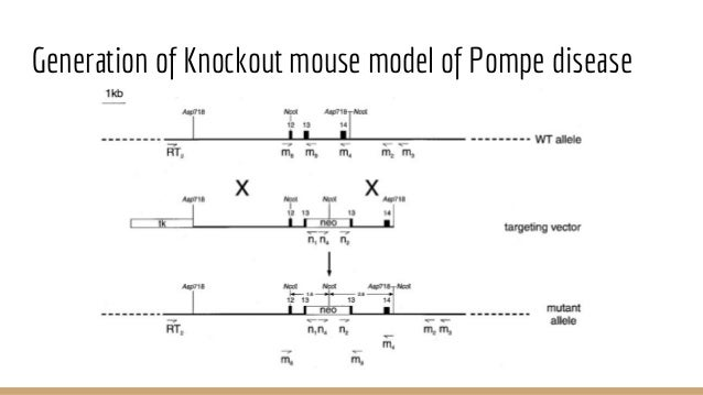 knockout mouse presentation Dendritic cell-specific mgat2 knockout mice show antigen presentation defects but reveal an  cre-mgat2 fl/fl conditional knockout mouse mhcii, class ii.