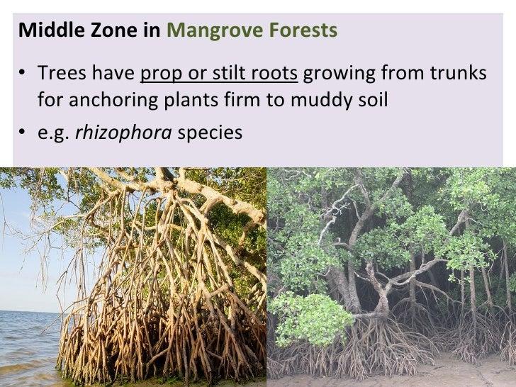 mangrove swamp tagalog