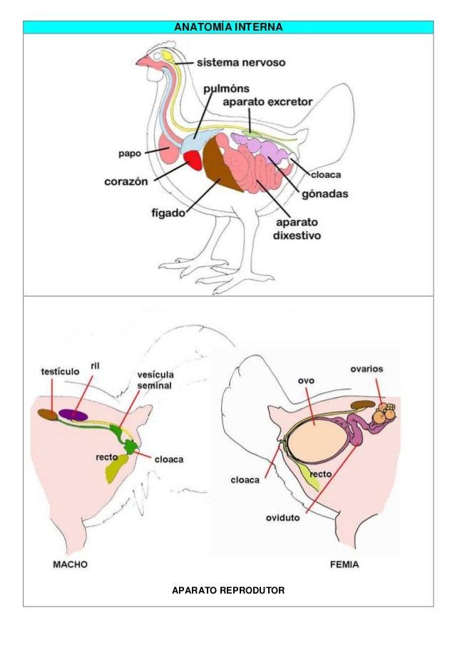 Dorable Anatomía Interna De Las Aves Componente - Imágenes de ...