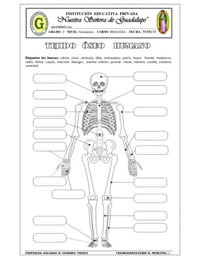 Guía del tejido óseo tejido muscular
