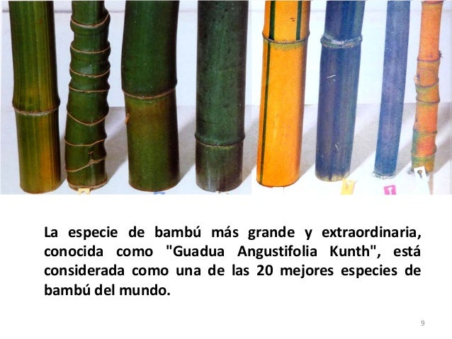Guadua angustifolia - Como se planta el bambu ...
