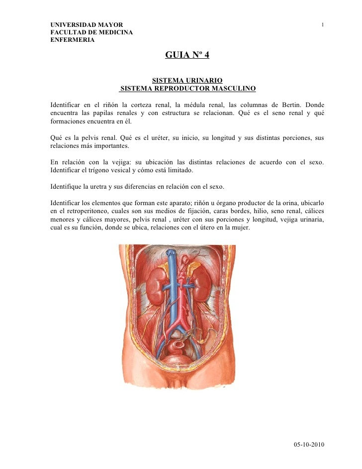 Guías N° 4 - Sistema Urinario, Sistema Reproductor Masculino