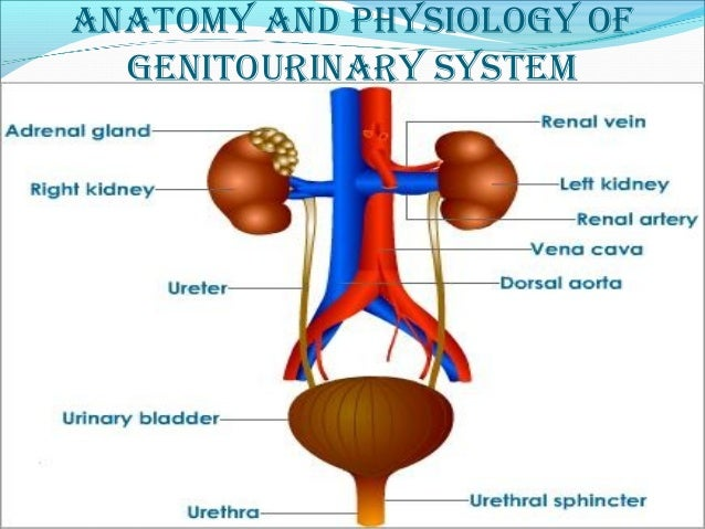 Genitourinary Disorders Medical Surgical Nursing