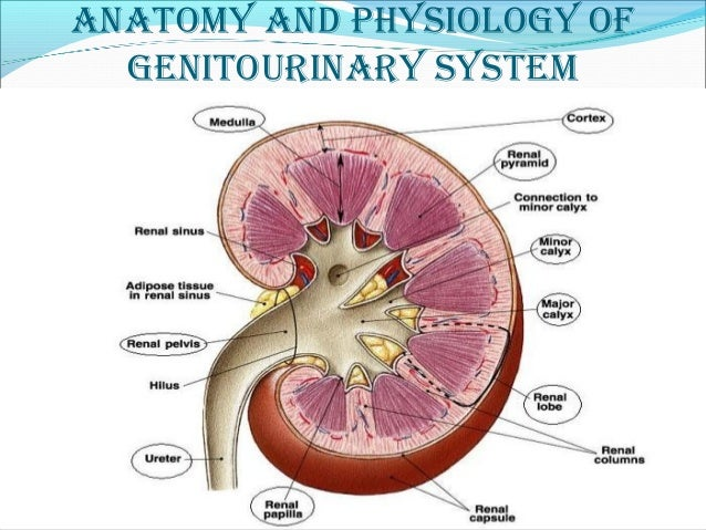 genitourinary disorders (medical surgical nursing)
