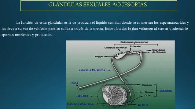 órgano Reproductivo Y Sistema Reproductivo De Los Animales