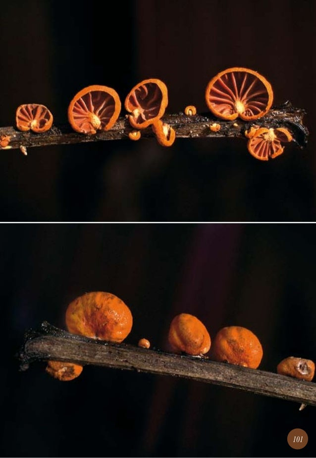 Guia de campo de los hongos de chile - Maderas lamelas ...