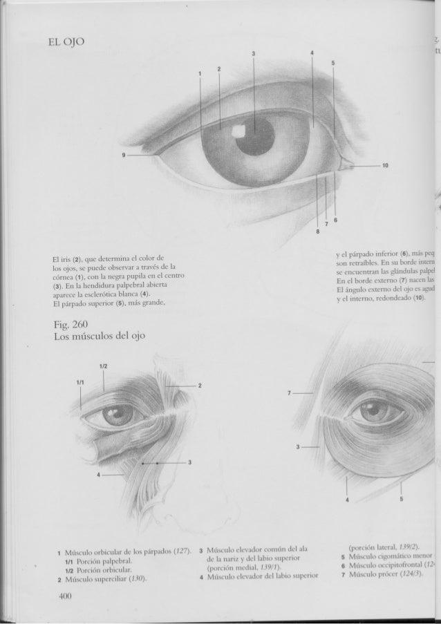 Perfecto Anatómico Del Ojo Viñeta - Anatomía de Las Imágenesdel ...