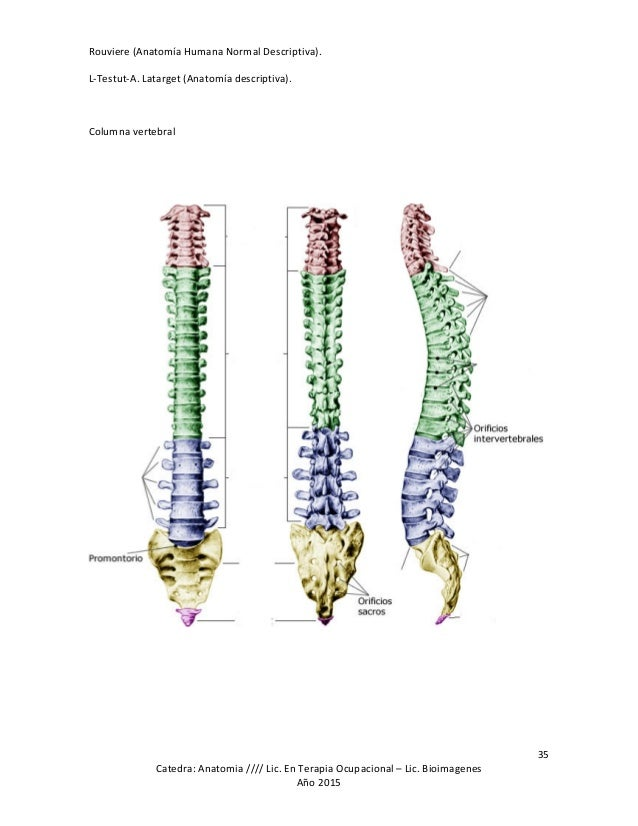 Fantástico Anatomía Humana Columna Vertebral Componente - Anatomía ...