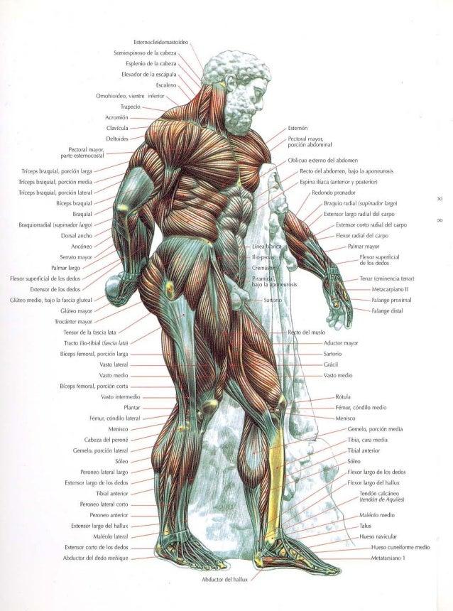 Guia de los movimientos de los musculos. Slide 2
