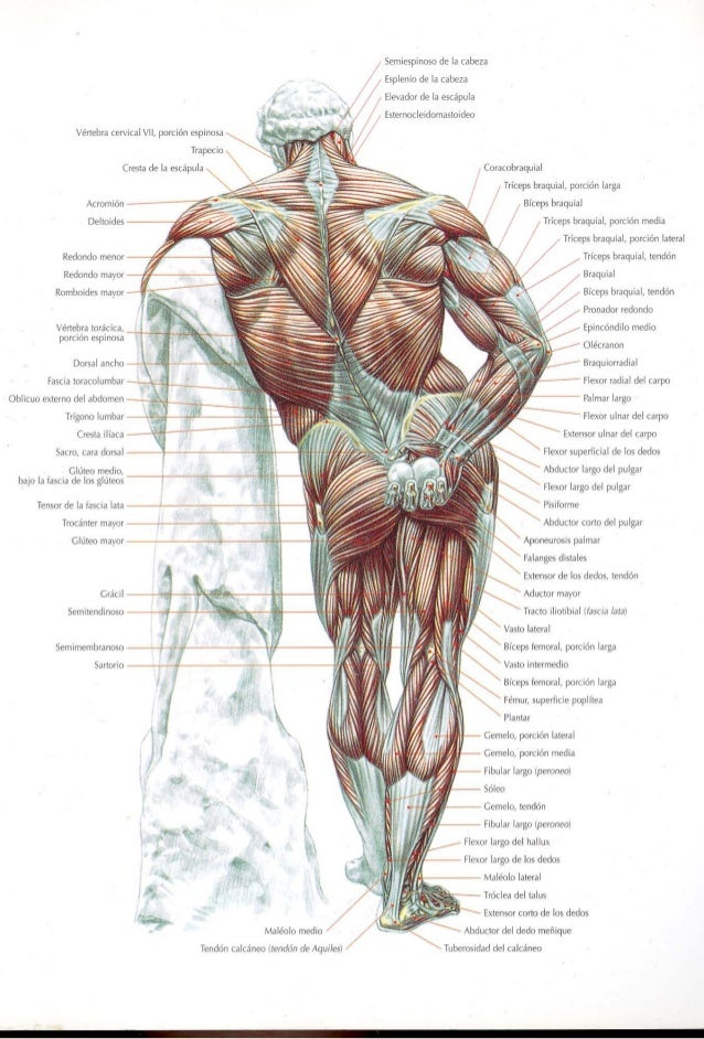 Guia de los movimientos de los musculos. Slide 3