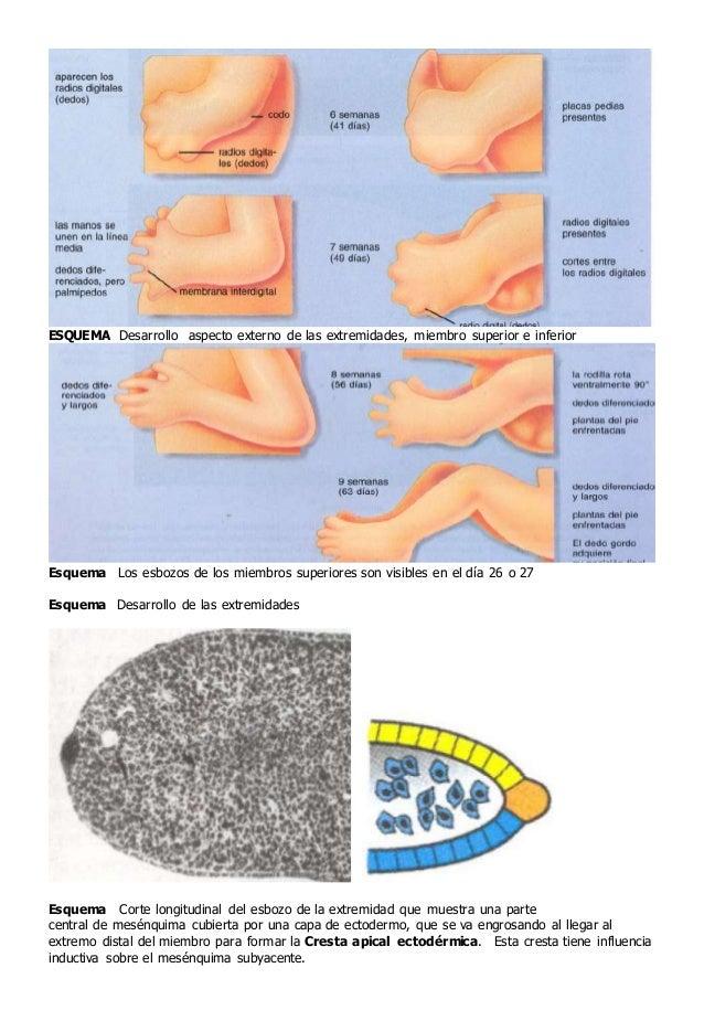 Material complementario EMBRIOLOGIA II Generalidades y Sistema Locom…