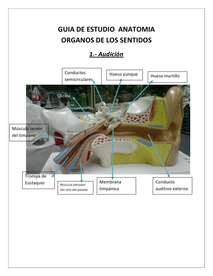 Guia estudio anatomia (Organos de los Sentidos)