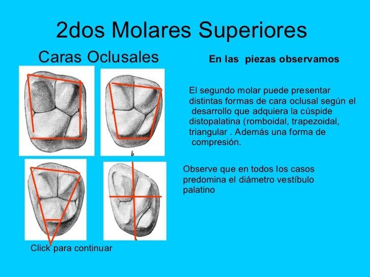 Excelente Anatomía Oclusal Del Primer Molar Superior Colección ...