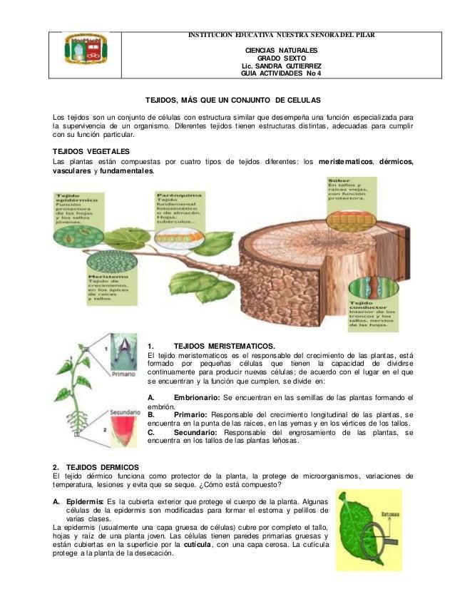 Guia n o 4 tejidos vegetales for Plantas fundamentales
