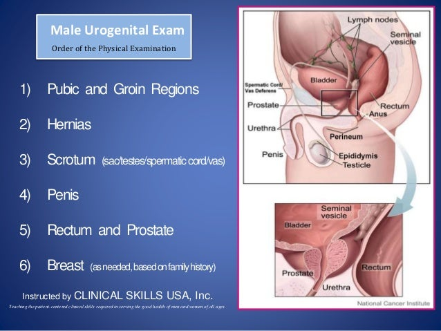 Male Urogenital Exam Order of the Physical Examination 1) Pubic and Groin Regions 2) Hernias 3) Scrotum (sac/testes/sperma...