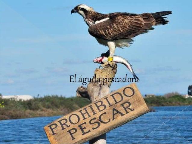 El águila pescadora