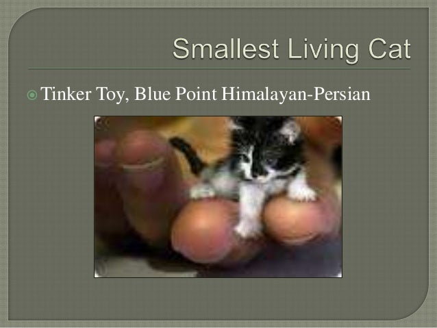 smallest cat in the world guinness 2015 - Smallest Cat In The World Guinness 2015