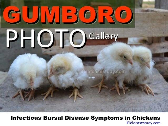 GUMBOROGUMBOROGUMBOROGUMBORO PHOTOPHOTOGalleryGallery Infectious Bursal Disease Symptoms in Chickens Fieldcasestudy.com