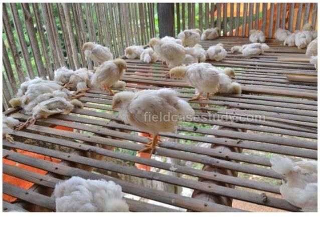 Gumboro disease, symptoms, velogenic, vvibd, poultry diseases, chicken diseases, Infectious Bursal Disease Symptoms in Chi...