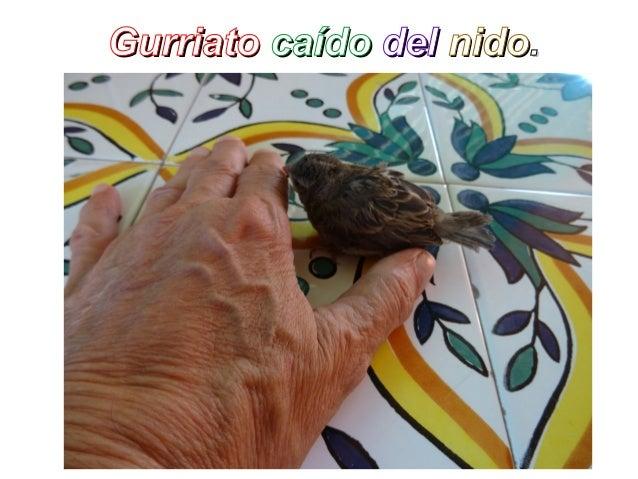 GurriatoGurriato caídocaído deldel nidonido..