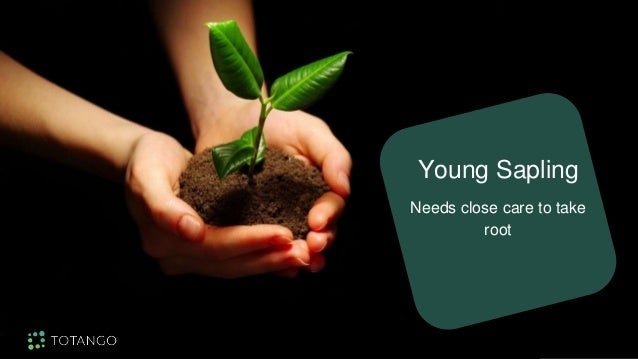 Young Sapling Needs close care to take root