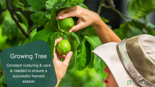Growing Tree Constant nurturing & care is needed to ensure a successful harvest season