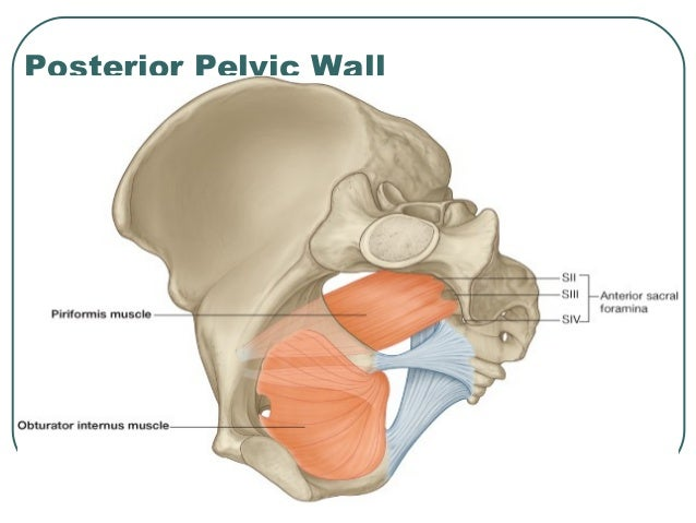 Anatomy Of Pelvis Perineum