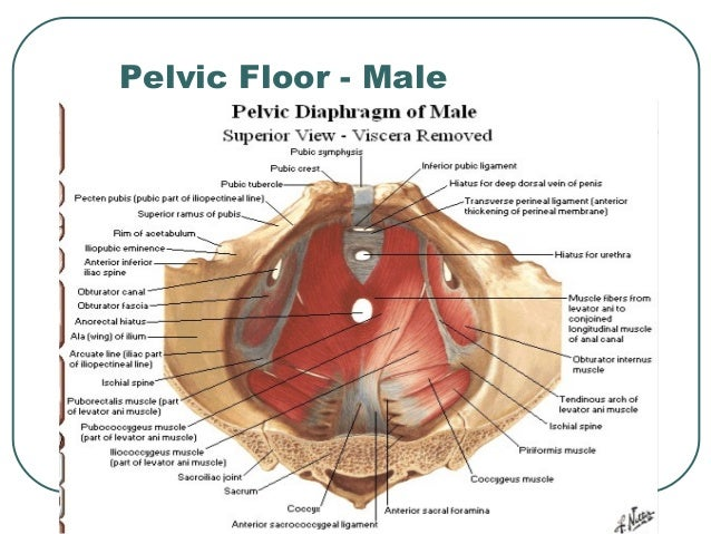 Superb Pelvic Diaphragm; 24. Pelvic Floor   Male ...