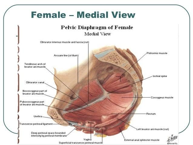 Medial Pelvic Diagram Diy Enthusiasts Wiring Diagrams