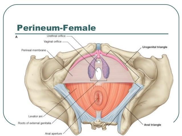 female perineum images