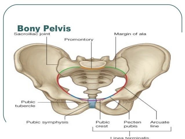 Anatomy of Pelvis & Perineum