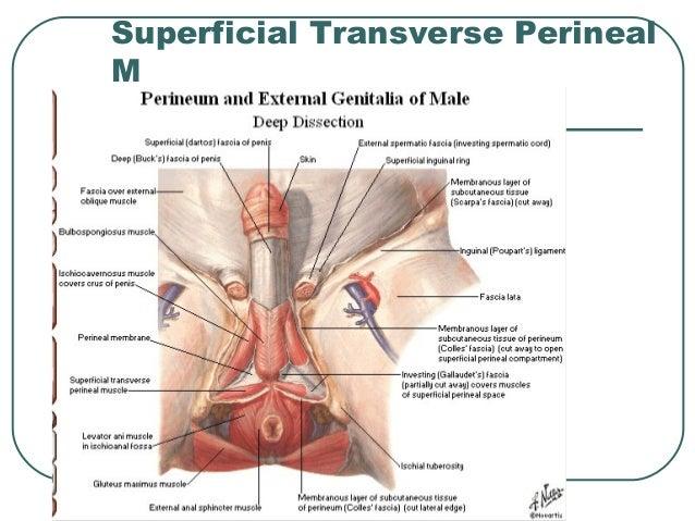Anatomy of Pelvis & Perineum
