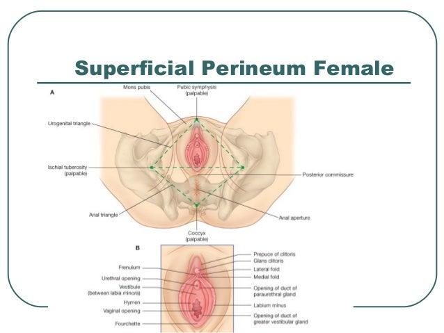 Female Perineum Anatomy Diagram Block And Schematic Diagrams