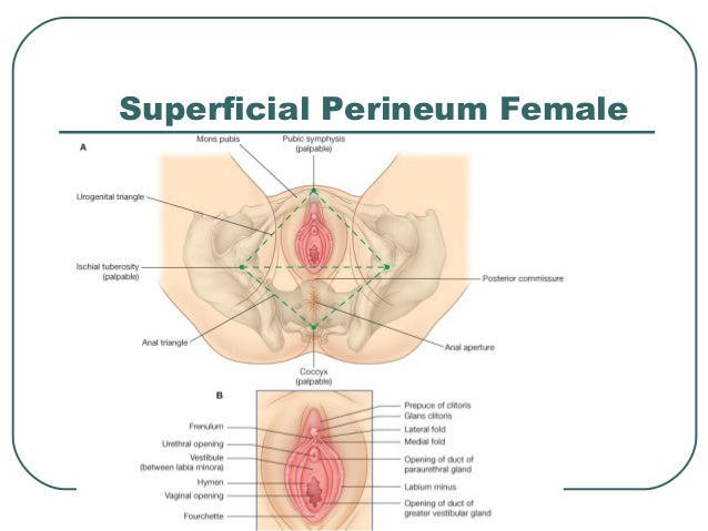 Female Perineum Anatomy Stream Inspiration Web Design With Female