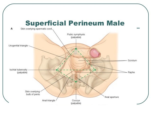 Diagram Of Male Perineum - Information Of Wiring Diagram •