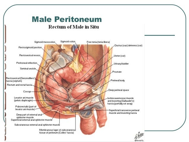 where is the male perineum located