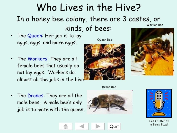 what do drone bees with Gvsu Ed 205 Interactive Powerpoint Honeybees Final on Honey b Hive Clipart furthermore Stock Images Beehive Image6080474 also Tracking The Life Cycle Of A Honey Bee additionally Tourists In Terror As Angry African Elephant Charges Their Car In Namibia 2662 as well A bee landed on my car with a full load of pollen.