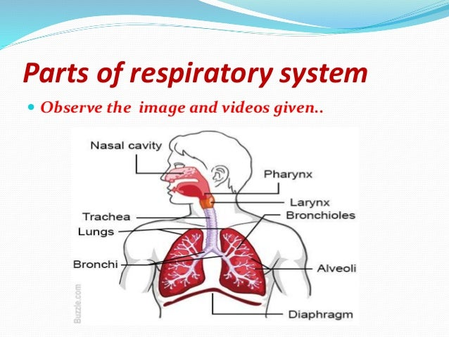 Atrophic Rhinitis 112 together with 9199249 additionally Answer Key Human Body Systems Test Review in addition Adductor Longus also Watch. on nasal cavity organs